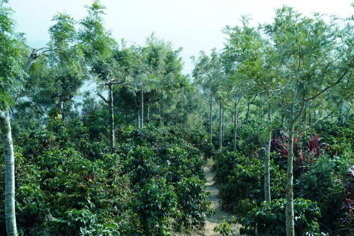 ブエナビスタ農園