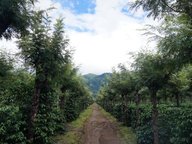 アンティグア ラ フォリ―農園