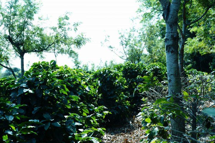 カンデラリア農園