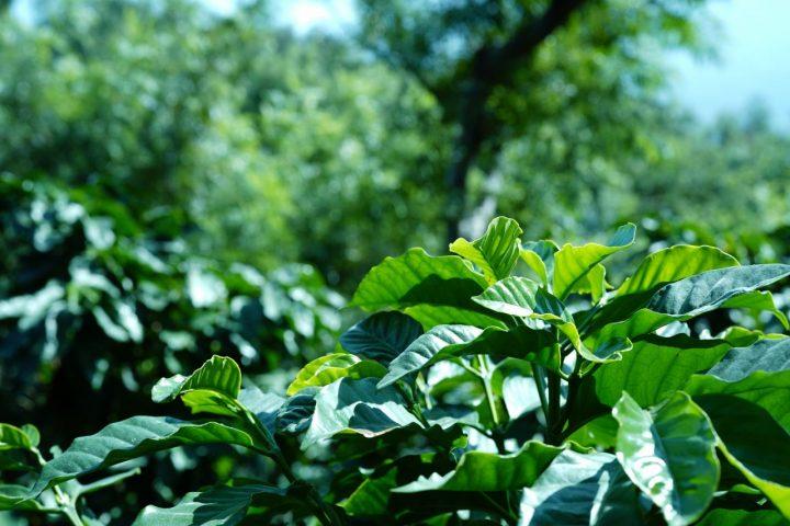 元気なコーヒーの木