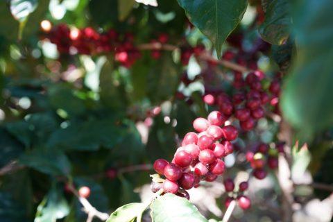 ダリオ農園 コーヒーチェリー