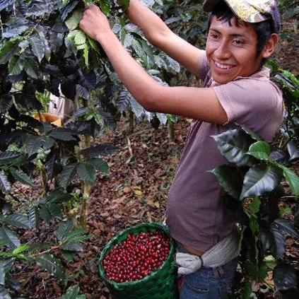ホンジュラス 収穫風景