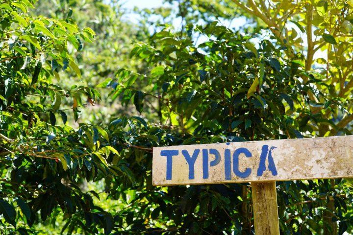 ティピカ コスタリカ ピエサン農園