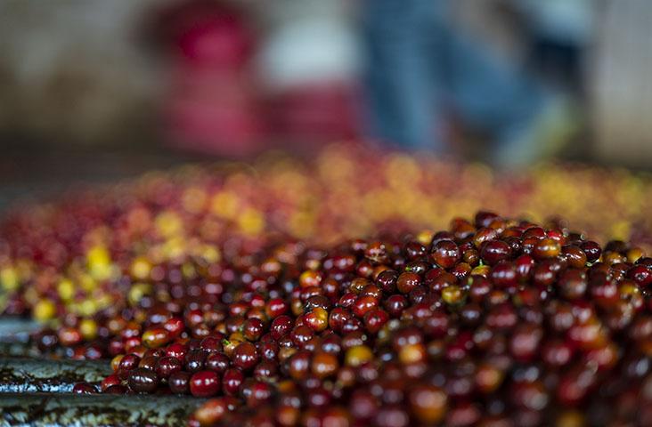 グァテマラ アンティグア コーヒーチェリー