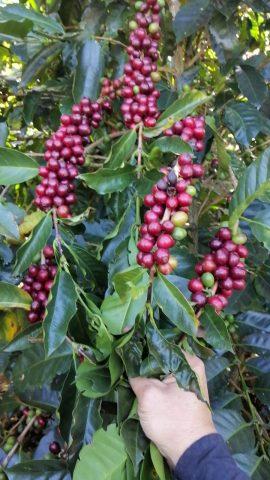 ボリビア コーヒーチェリー